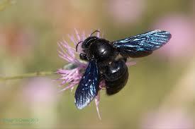 El abejorro carpintero europeo y la polinizacion