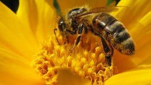 5 ejemplos de insectos más conocidos y las abejas