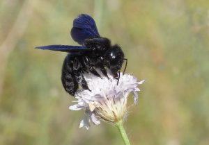 El abejorro carpintero europeo y sus nidos
