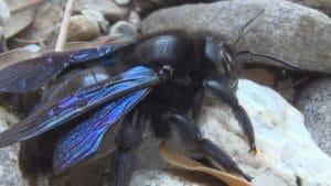 El abejorro carpintero europeo y su apareamiento