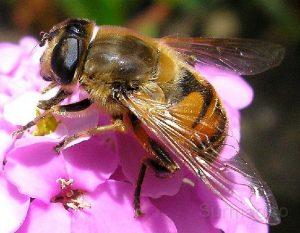 Las abejas africanas y su vida