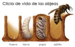 Las abejas africanas y su ciclo de vida