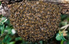 Las abejas africanas y su colmena