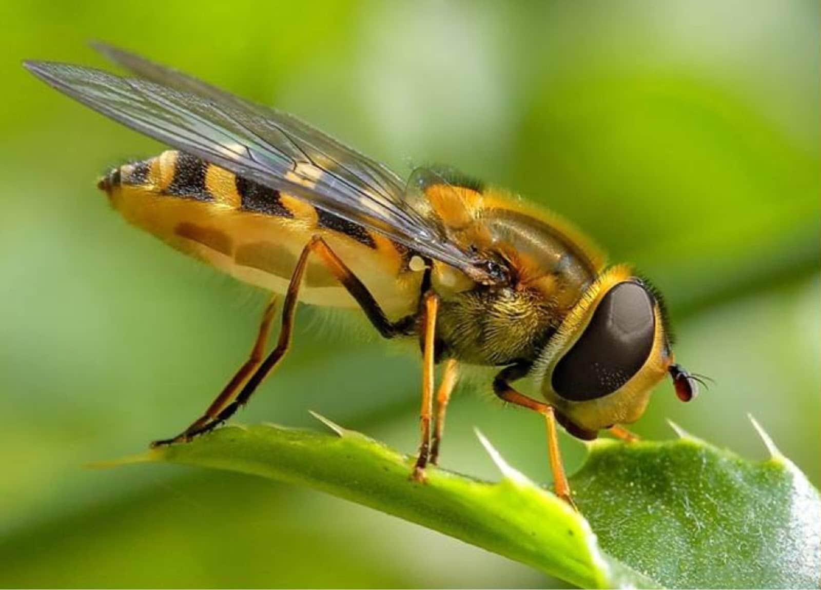 La abeja africana