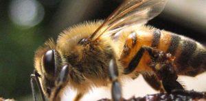 La picadura de la abeja africana y sus peligros
