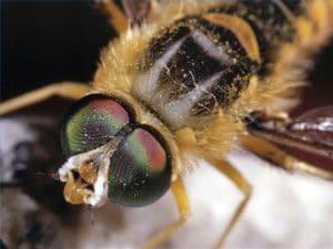 las abejas africanas y su veneno