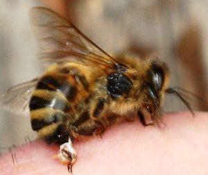 La picadura de la abeja africana