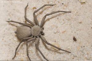 5 tipos de arañas más venenosas del mundo y la araña arena