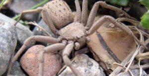 5 tipos de arañas más venenosas del mundo y la araña de los seis ojos