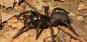 5 tipos de arañas más venenosas del mundo y la atrax robustus