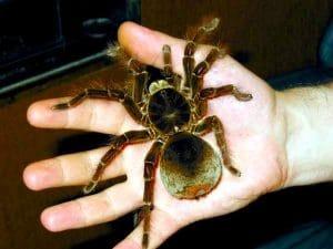 5 tipos de arañas más venenosas del mundo y la atrax