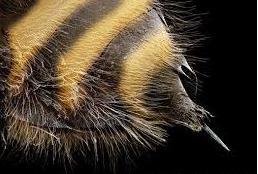 el aguijon de la abeja o de la avispa6