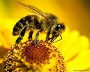 Picadura del abejorro chileno
