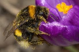 Picadura del abejorro chileno y sus características