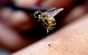 Picadura del abejorro chileno y su veneno