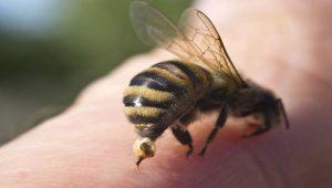 el abejorro chileno y sus picaduras