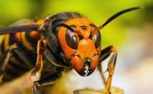 La picadura del abejorro gigante japones 1
