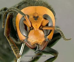 La picadura del abejorro gigante japones 2