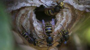 La picadura del abejorro gigante japones 3