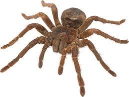Las 10 arañas más peligrosas del mundo y su veneno