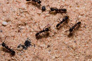 5 ejemplos de insectos. las hormigas