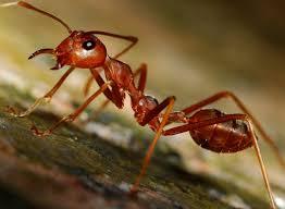 5 ejemplos de insectos más conocidos como las hormigas