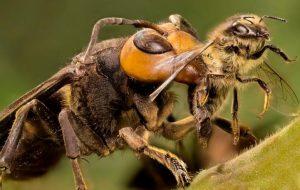 La picadura del abejorro gigante japones 5