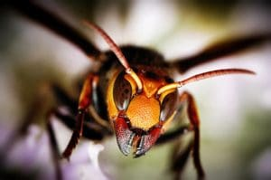 La picadura del abejorro gigante japones 6