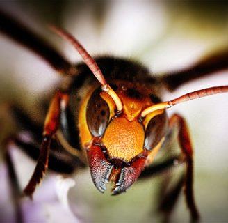Es peligrosa la picadura del abejorro gigante japones? Conoce sus consecuencias
