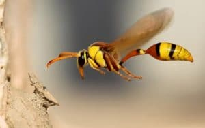 La picadura del abejorro gigante japones 7