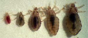 5 ejemplos de insectos y los piojos
