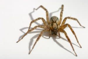 Las 10 arañas más peligrosas del mundo