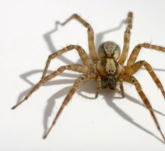 Las 10 arañas más peligrosas del mundo y sus características