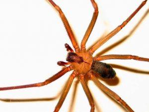 Las 10 arañas más peligrosas del mundo y la violinista