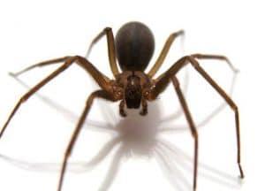 5 tipos de arañas más venenosas del mundo y la violinista