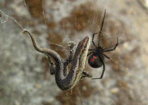 5 tipos de arañas venenosas