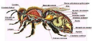 Características de la abeja africana y su estructura