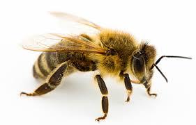 5 ejemplos de insectos más conocidos como la abeja