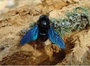 El abejorro carpintero europeo, sus características y comportamiento