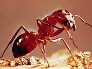 acido del piquete de la hormiga 2