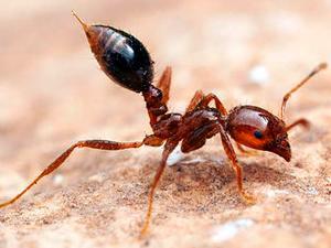 Que efectos causa  el acido del piquete de la hormiga? Conoce todo sobre este tema