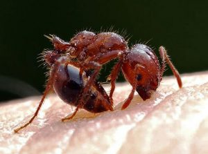 acido del piquete de la hormiga 5