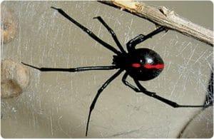 La viuda negra una de las 5 arañas mas venosas del mundo