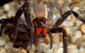 5 tipos de arañas más venenosas del mundo y la brasileña errante