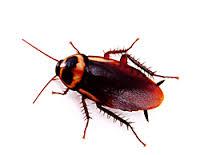 5 ejemplos de insectos tales como la cucaracha