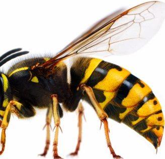Cosas que debes saber sobre el aguijon de la abeja y su veneno