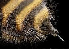el aguijon de la abeja 2