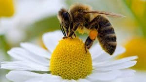 el aguijon de la abeja9