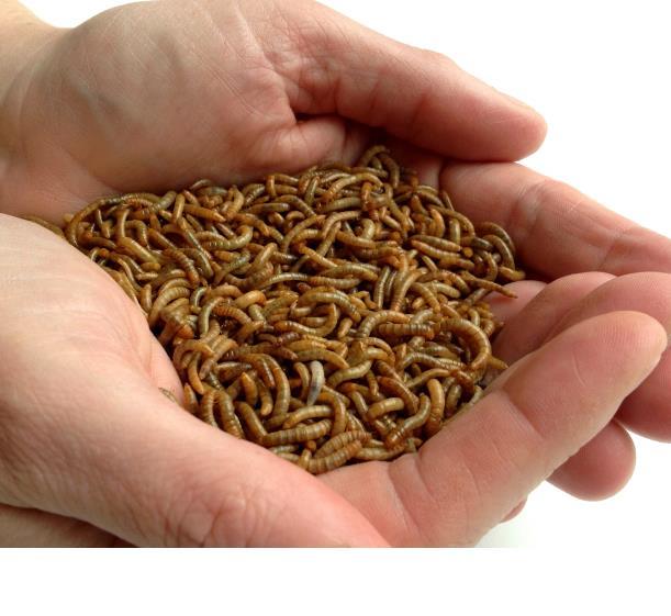 insectos que perforan tu piel