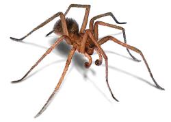 Las 10 arañas más peligrosas del mundo y su mordedura